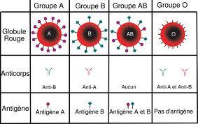 le tableau suivant prsente la composition de quatre groupes sanguins a b ab et o - Resume Bac Science Tunisie