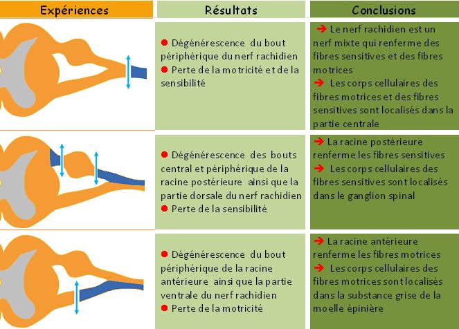 les rles des racines du nerf rachidien - Resume Cours Science Bac Tunisie